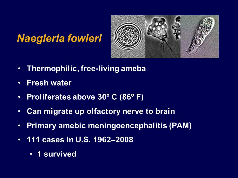 Naegleria fowleri Thermophilic, free-living ameba Fresh water Proliferates above 30º C (86º F) Can migrate up olfactory nerve to brain Primary amebic