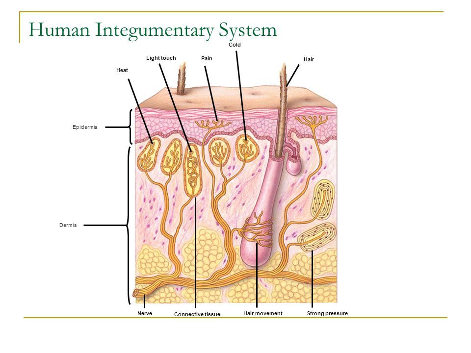 Heat Light touch Pain Cold Hair Nerve Connective tissue Hair movement Strong pressure Dermis Epidermis Human Integumentary System