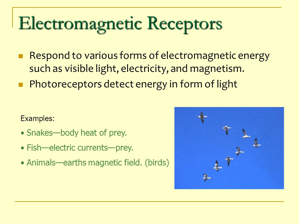 Electromagnetic Receptors Respond to various forms of electromagnetic energy such as visible light, electricity, and magnetism. Photoreceptors detect