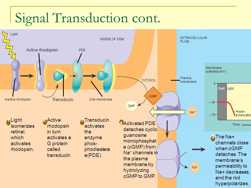 Signal Transduction cont. EXTRACELLULAR FLUID Membrane potential (mV) 0 – 40 – 70 Dark Light – Hyper- polarization Time Na + cGMP CYTOSOL GMP Plasma m