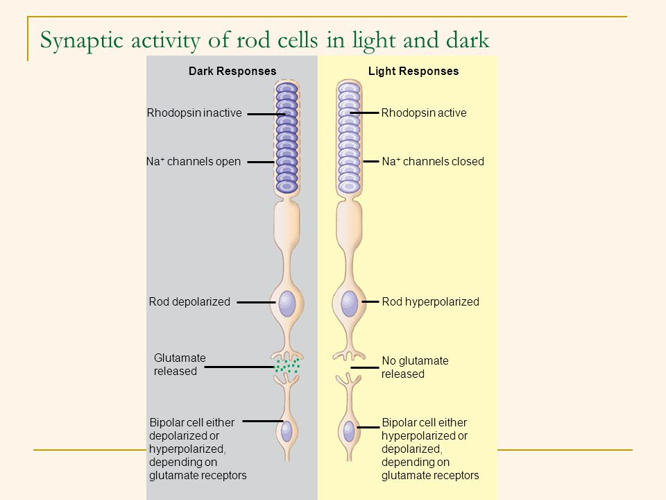 Synaptic activity of rod cells in light and dark Dark Responses Rhodopsin inactive Na + channels open Rod depolarized Glutamate released Bipolar cell