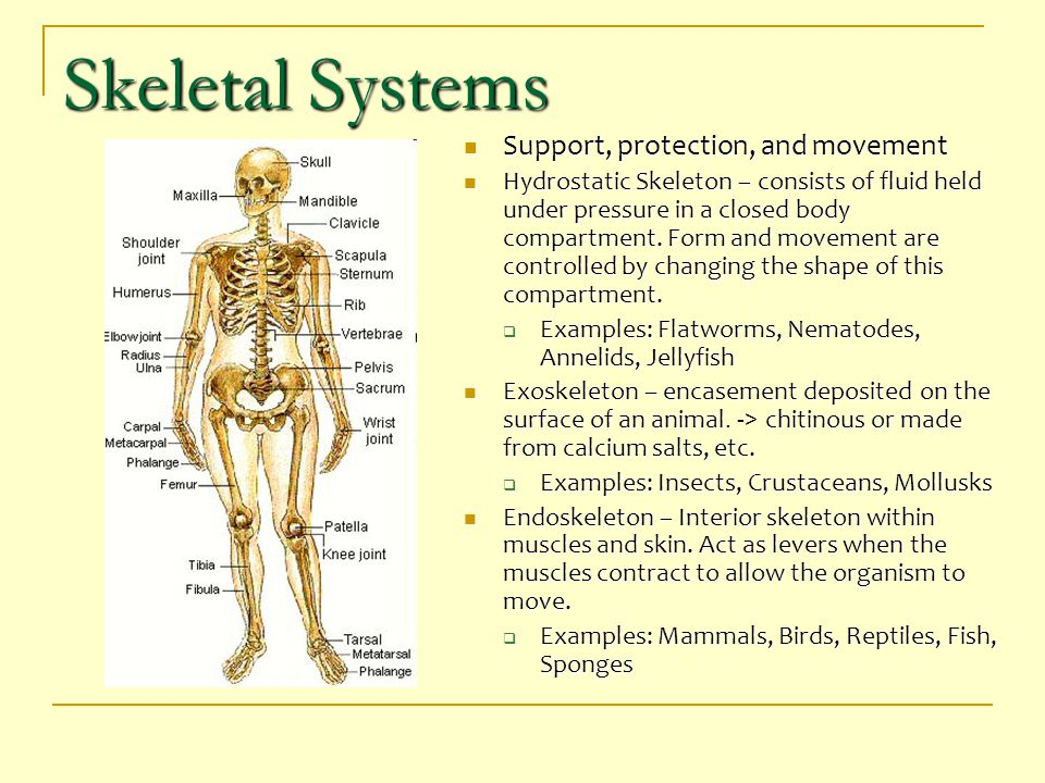Skeletal Systems Support, protection, and movement Support, protection, and movement Hydrostatic Skeleton – consists of fluid held under pressure in a