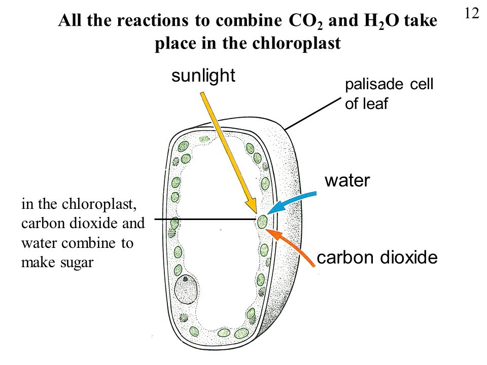 All the reactions to combine CO 2 and H 2 O take place in the chloroplast sunlight water carbon dioxide in the chloroplast, carbon dioxide and water c