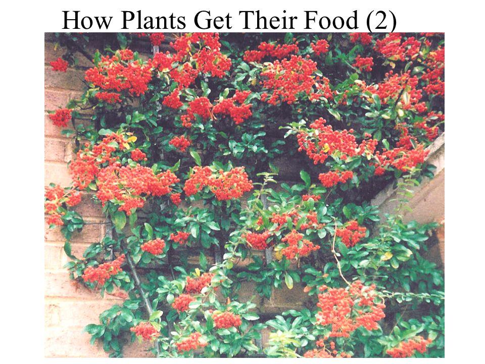 How plants get their food (2) How Plants get their Food (2) How Plants Get Their Food (2)