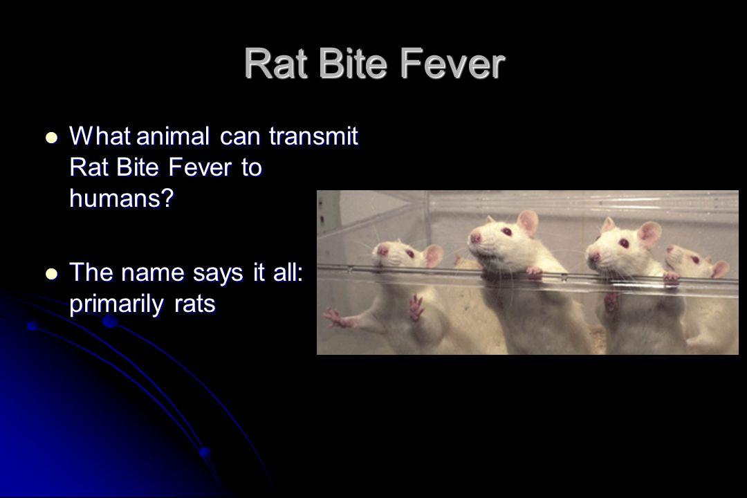 Rat Bite Fever What animal can transmit Rat Bite Fever to humans.