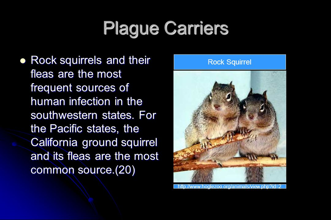 Plague Carriers Rock squirrels and their fleas are the most frequent sources of human infection in the southwestern states.