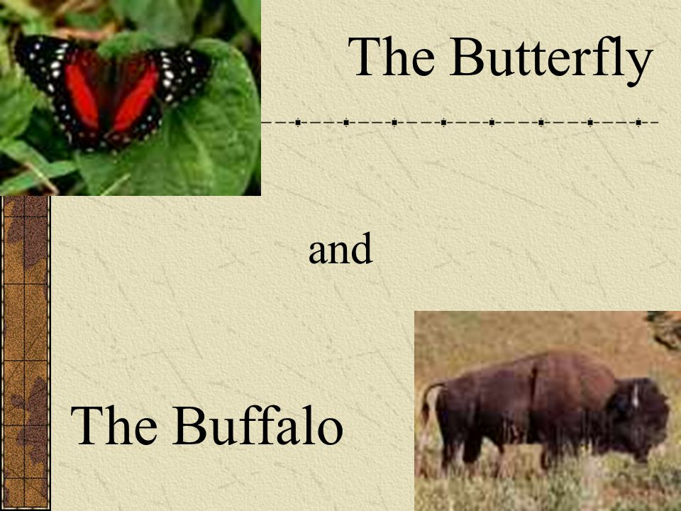 The Butterfly and The Buffalo
