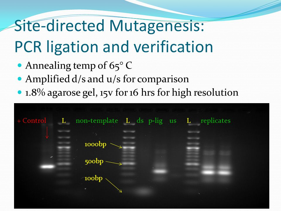 Site-directed Mutagenesis: PCR ligation and verification Annealing temp of 65° C Amplified d/s and u/s for comparison 1.8% agarose gel, 15v for 16 hrs for high resolution + Control L non-template L ds p-lig us L replicates 1000bp 500bp 100bp