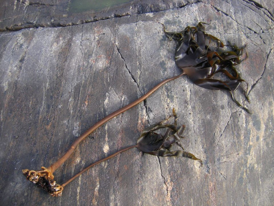 Objective Can you profitably make ethanol from Seaweed in Norway?
