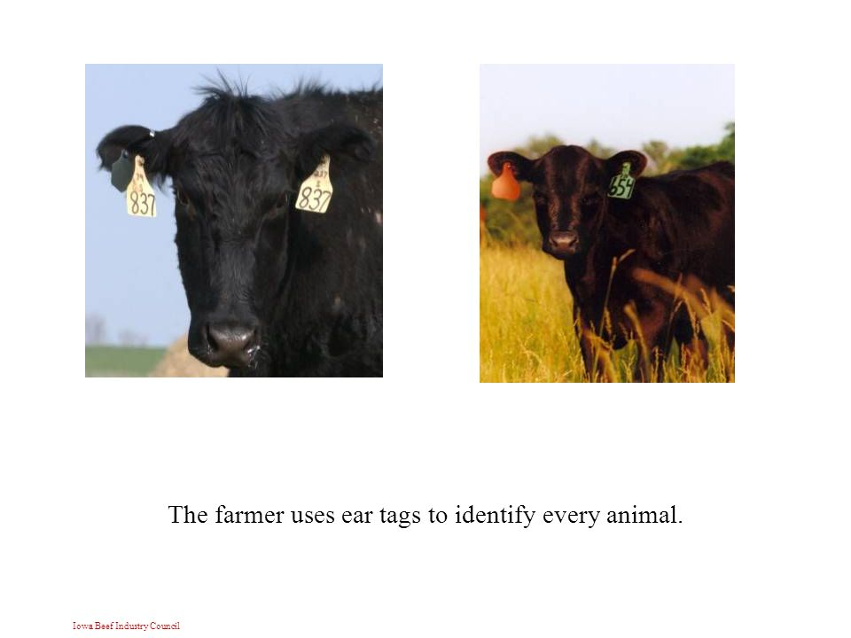 Iowa Beef Industry Council The farmer uses ear tags to identify every animal.