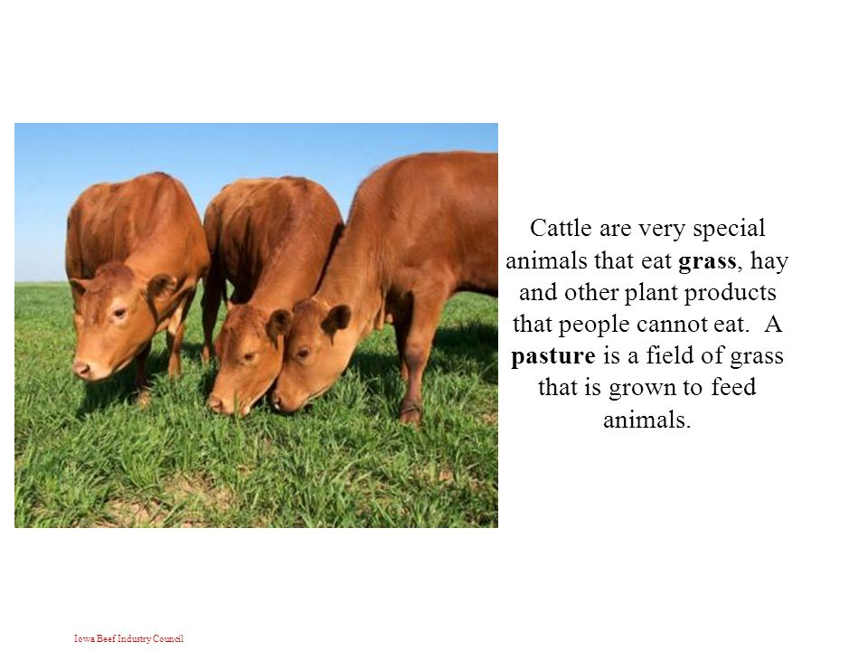 Iowa Beef Industry Council Cattle are very special animals that eat grass, hay and other plant products that people cannot eat.