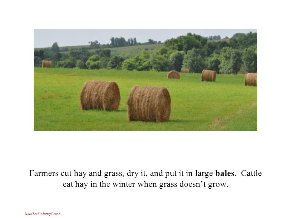 Iowa Beef Industry Council Farmers cut hay and grass, dry it, and put it in large bales.