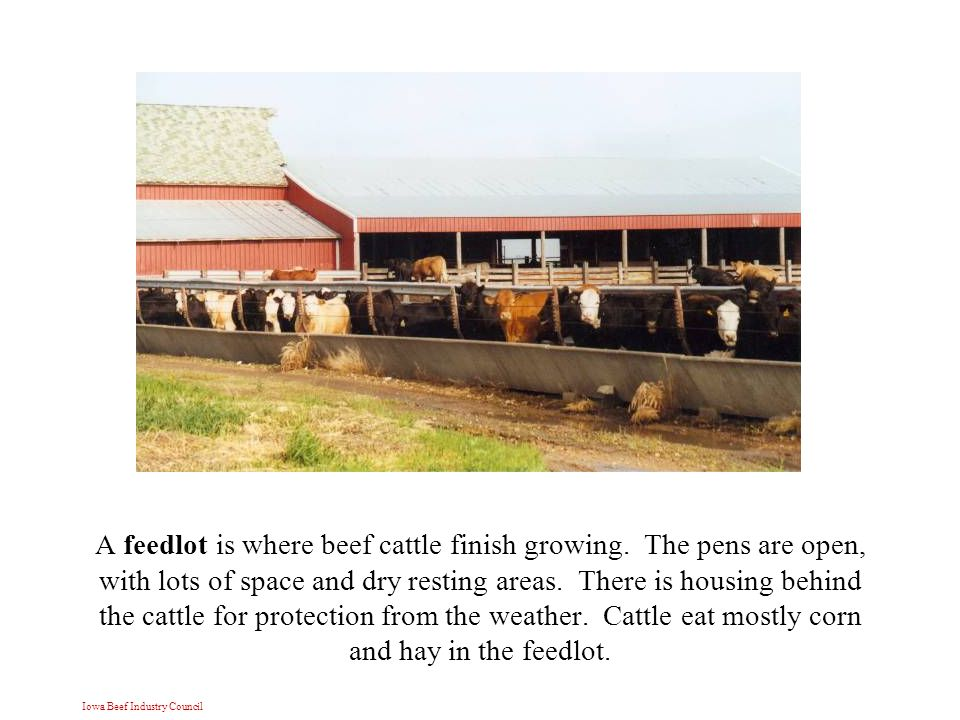 Iowa Beef Industry Council A feedlot is where beef cattle finish growing.
