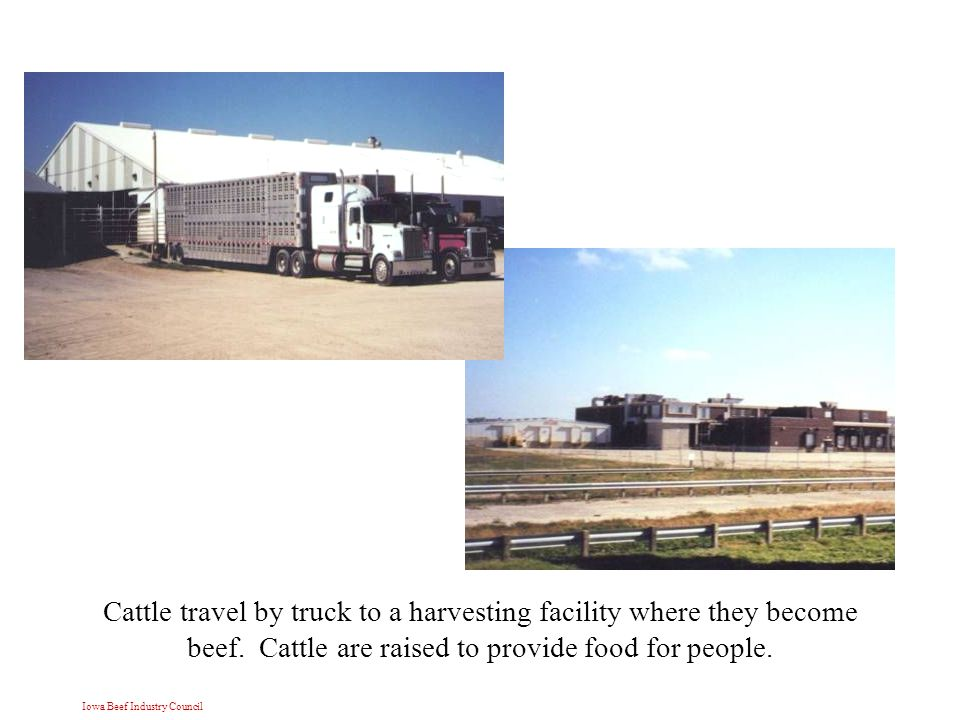 Iowa Beef Industry Council Cattle travel by truck to a harvesting facility where they become beef.