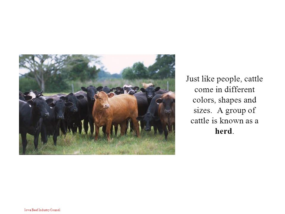 Iowa Beef Industry Council Just like people, cattle come in different colors, shapes and sizes.