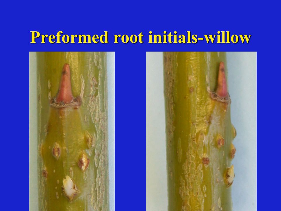 Preformed root initials-willow