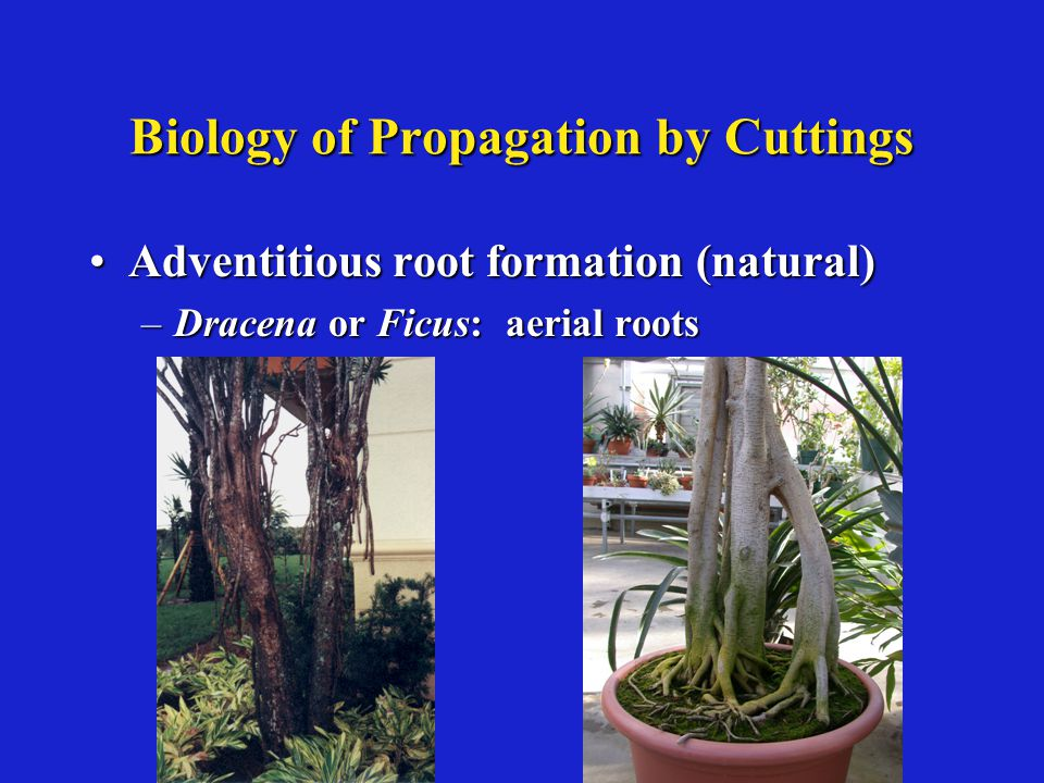Biology of Propagation by Cuttings Adventitious root formation (natural)Adventitious root formation (natural) –Dracena or Ficus: aerial roots