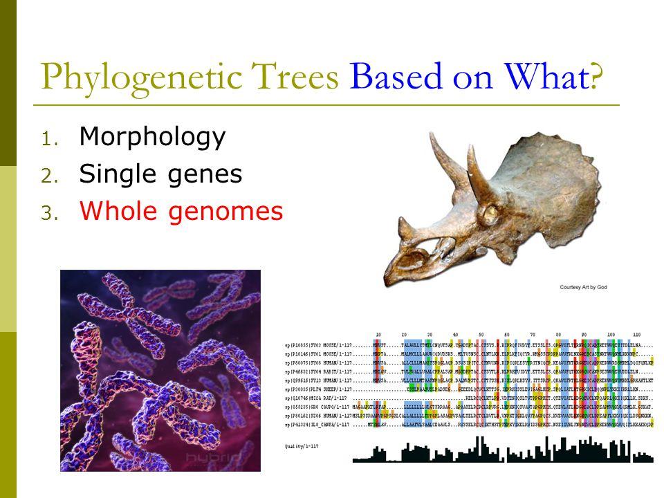 Phylogenetic Trees Based on What 1. Morphology 2. Single genes 3. Whole genomes