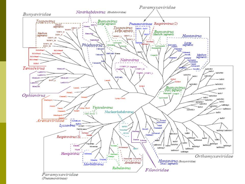  Each segment treated separately  174 segments of 74 viruses. ssRNA Negative Tree