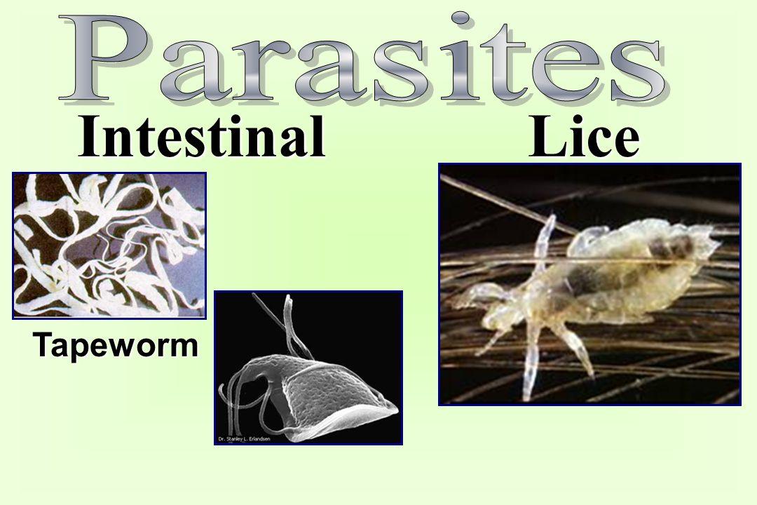 Intestinal Lice Tapeworm
