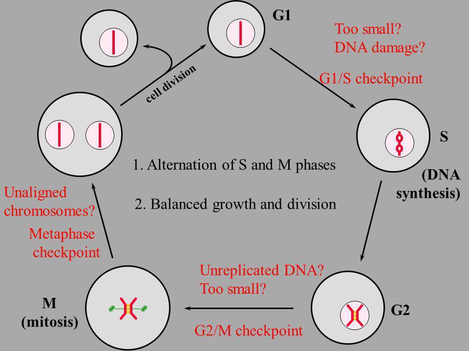 Start S cell division Finish G1 DNA replication G2 G2/M M (mitosis) APC Cdc20 APC Cdh1 CKI Cdk Clb2 Clb5 Cln2