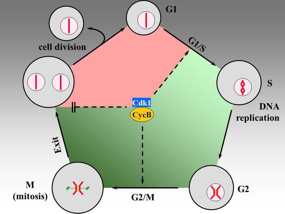 The mathematical model synthesisdegradation synthesis degradation binding activation inactivation