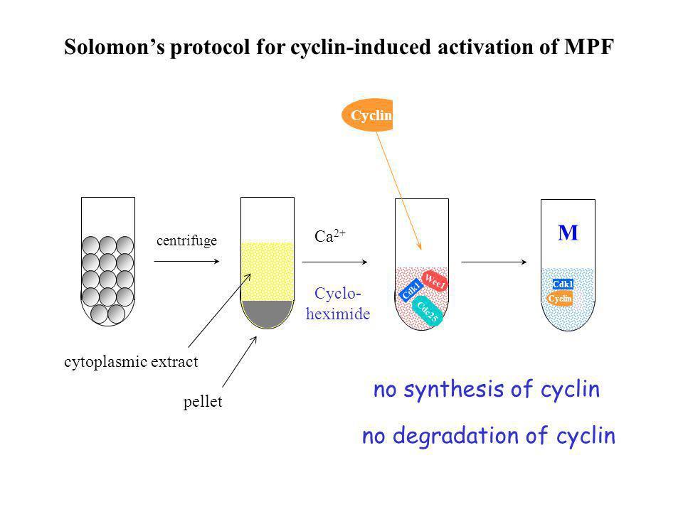 Threshold Cyclin (nM) MPF Solomon et al. (1990) Cell 63:1013.