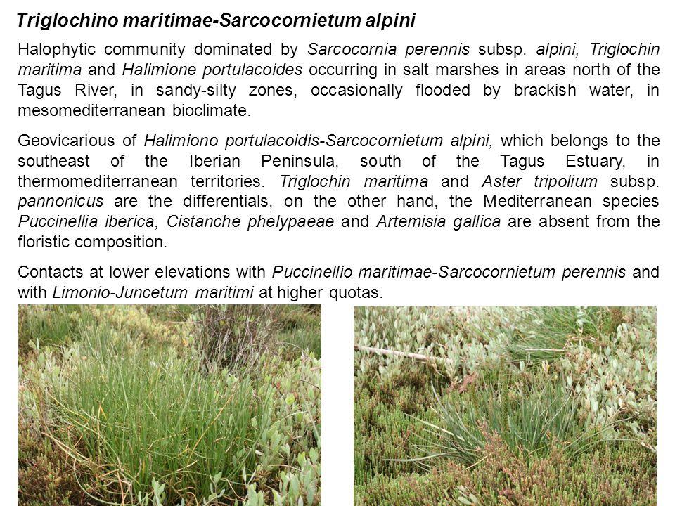 Triglochino maritimae-Sarcocornietum alpini Halophytic community dominated by Sarcocornia perennis subsp. alpini, Triglochin maritima and Halimione po