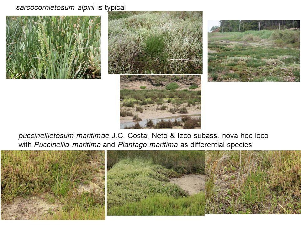 sarcocornietosum alpini is typical puccinellietosum maritimae J.C. Costa, Neto & Izco subass. nova hoc loco with Puccinellia maritima and Plantago mar