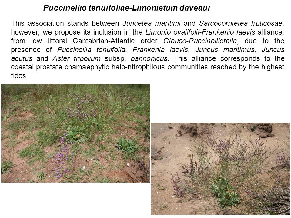This association stands between Juncetea maritimi and Sarcocornietea fruticosae; however, we propose its inclusion in the Limonio ovalifolii-Frankenio laevis alliance, from low littoral Cantabrian-Atlantic order Glauco-Puccinellietalia, due to the presence of Puccinellia tenuifolia, Frankenia laevis, Juncus maritimus, Juncus acutus and Aster tripolium subsp.