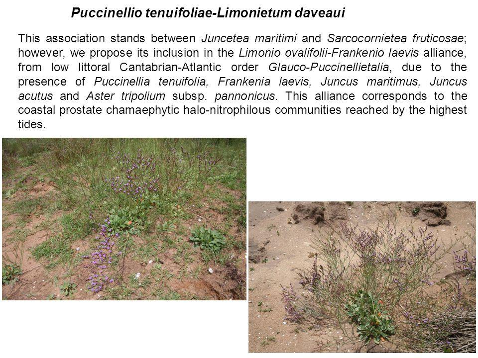 This association stands between Juncetea maritimi and Sarcocornietea fruticosae; however, we propose its inclusion in the Limonio ovalifolii-Frankenio