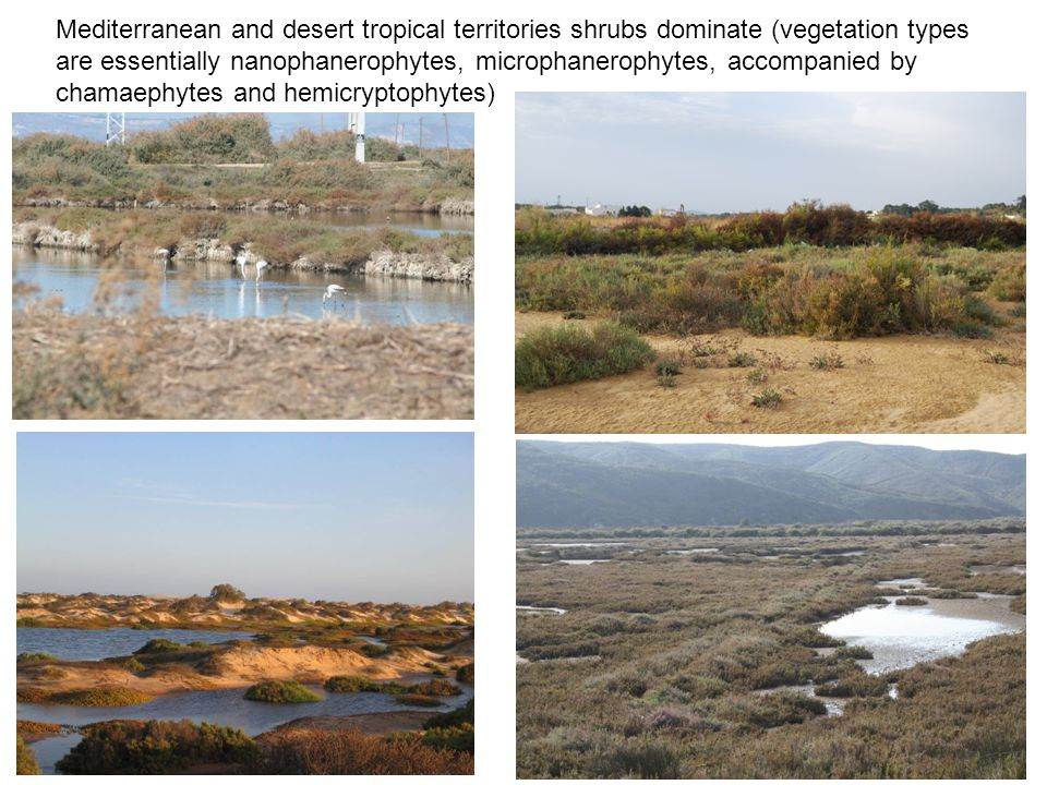 Mediterranean and desert tropical territories shrubs dominate (vegetation types are essentially nanophanerophytes, microphanerophytes, accompanied by chamaephytes and hemicryptophytes)