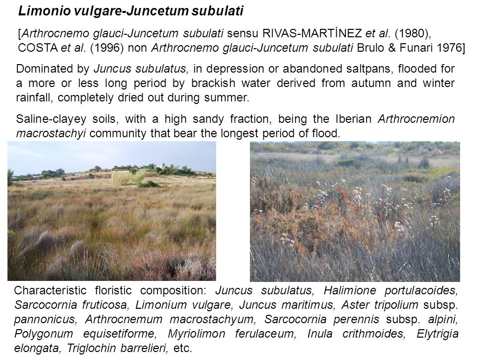 Limonio vulgare-Juncetum subulati [Arthrocnemo glauci-Juncetum subulati sensu RIVAS-MARTÍNEZ et al. (1980), COSTA et al. (1996) non Arthrocnemo glauci