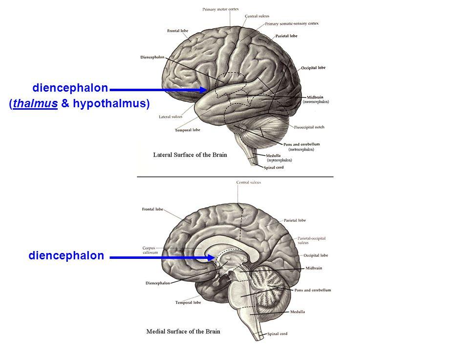 diencephalon (thalmus & hypothalmus)
