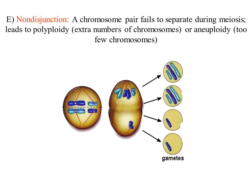 E) Nondisjunction: A chromosome pair fails to separate during meiosis; leads to polyploidy (extra numbers of chromosomes) or aneuploidy (too few chrom