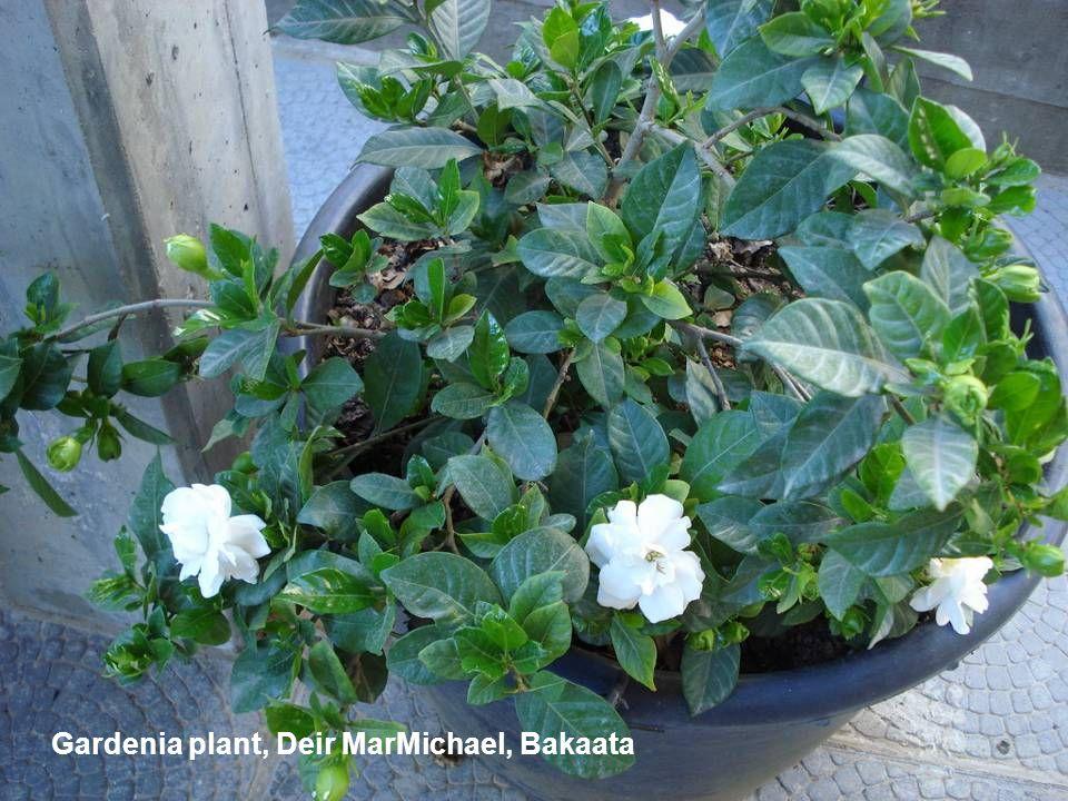 Gardenia plant, Deir MarMichael, Bakaata