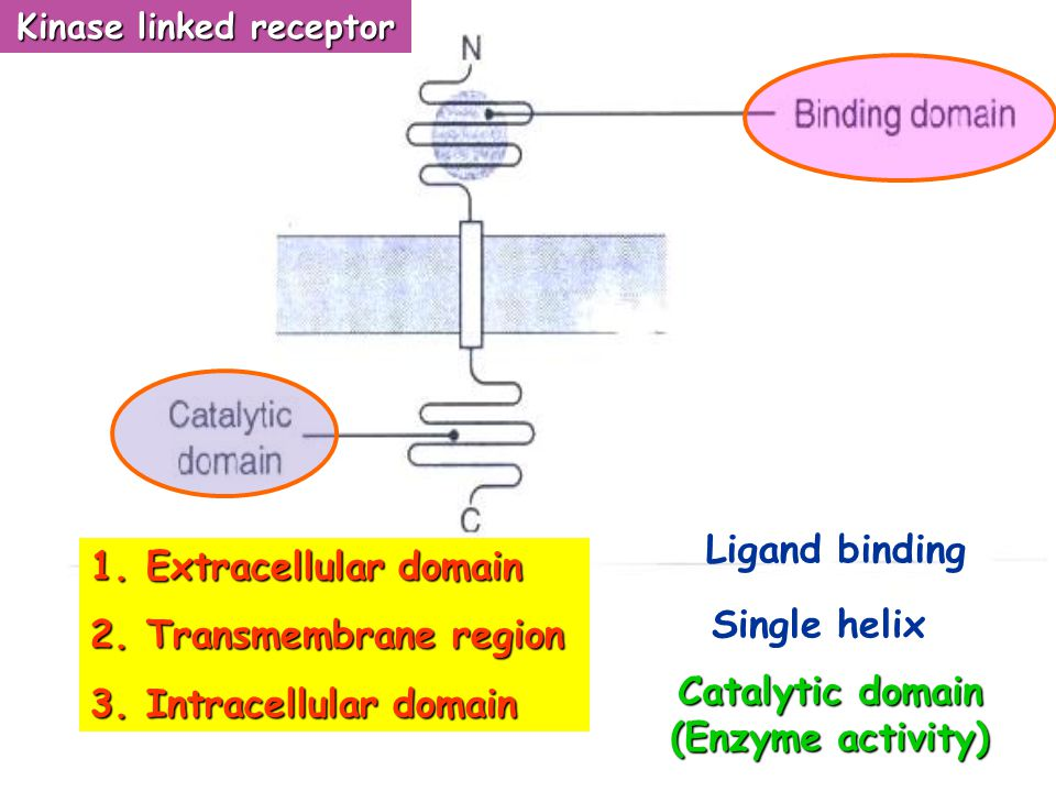 Tyrosine kinase receptor/ Guanylate cyclase linked receptor Insulin receptor Insulin receptor Cytokine receptor *** Cytokine receptor *** Growth facto