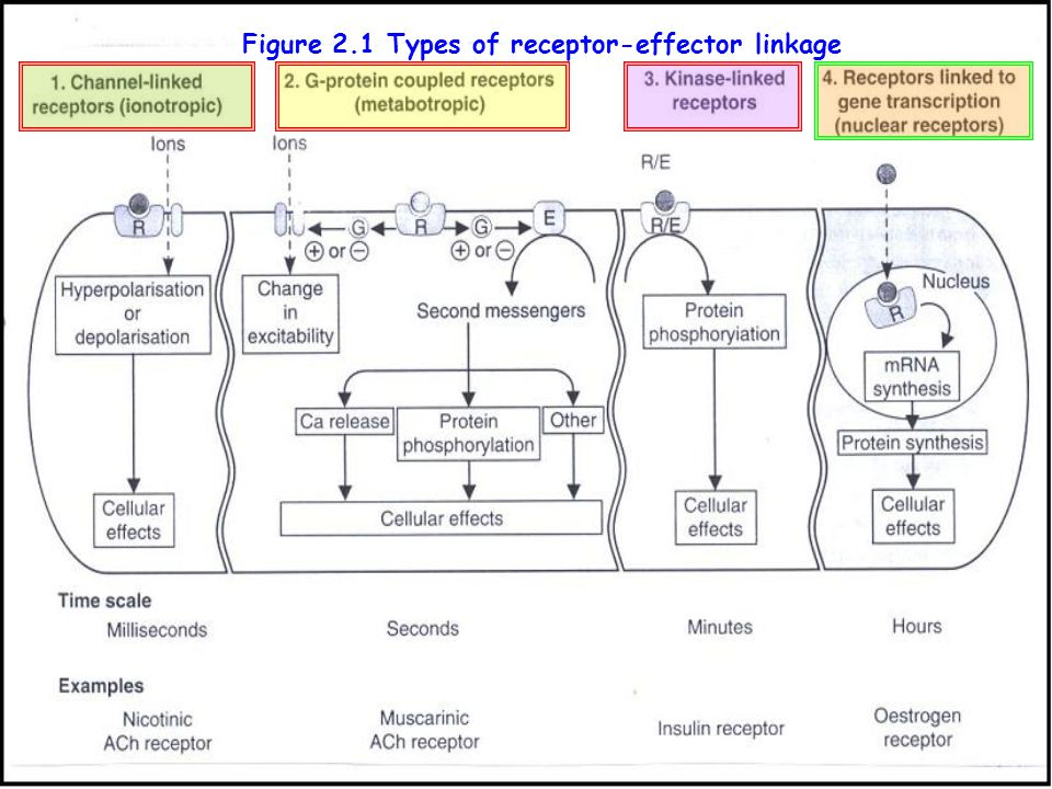 Receptor classification by their localization Cell membrane receptor Cell membrane receptor Nuclear receptor or intracellular receptor Nuclear recepto