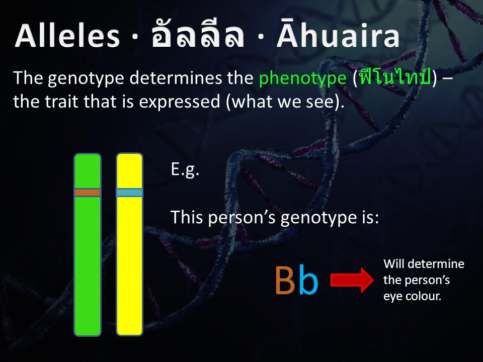 The genotype determines the phenotype ( ฟีโนไทป์ ) – the trait that is expressed (what we see).