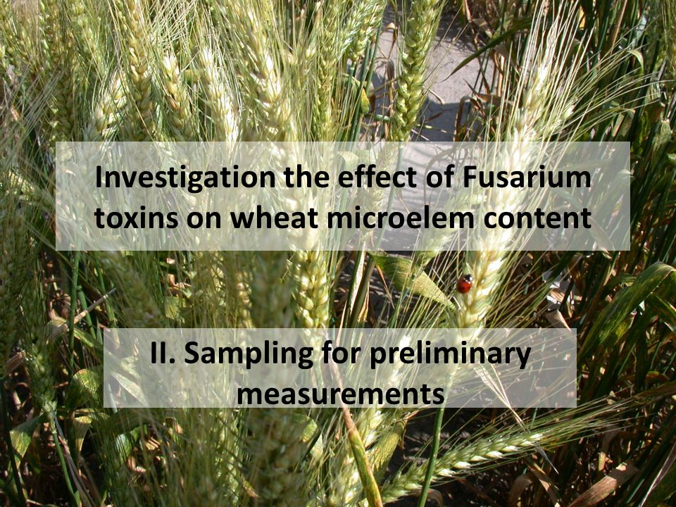 Investigation the effect of Fusarium toxins on wheat microelem content II. Sampling for preliminary measurements