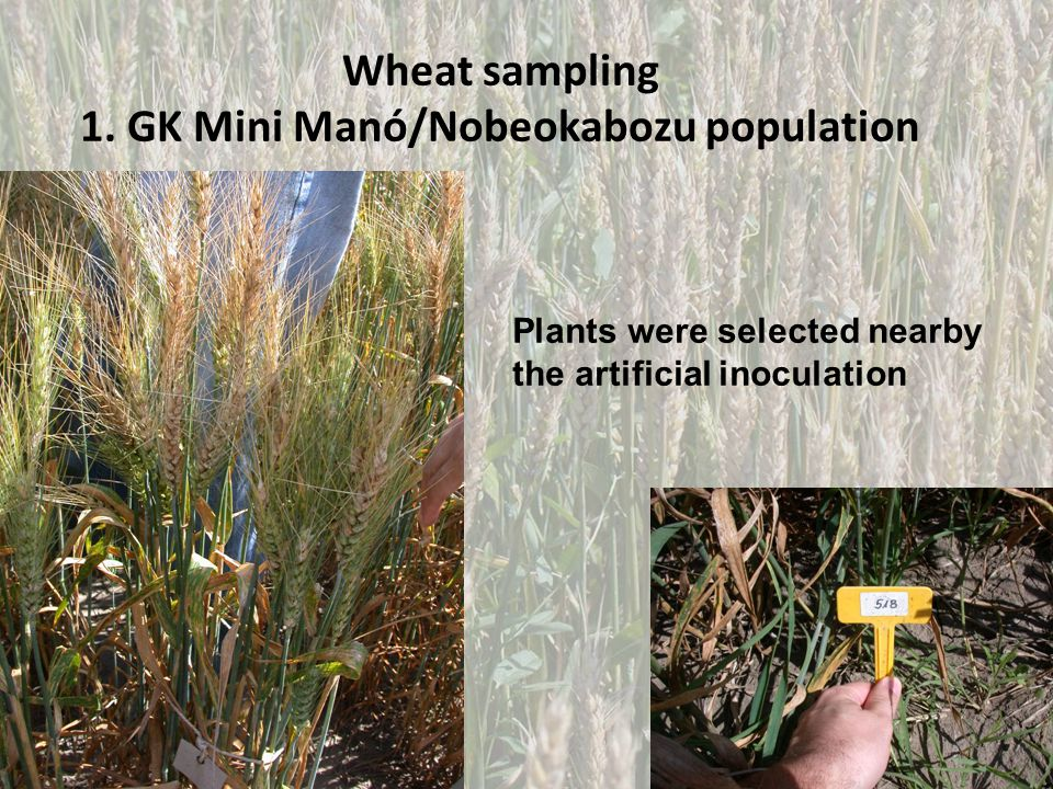 Wheat sampling 1.