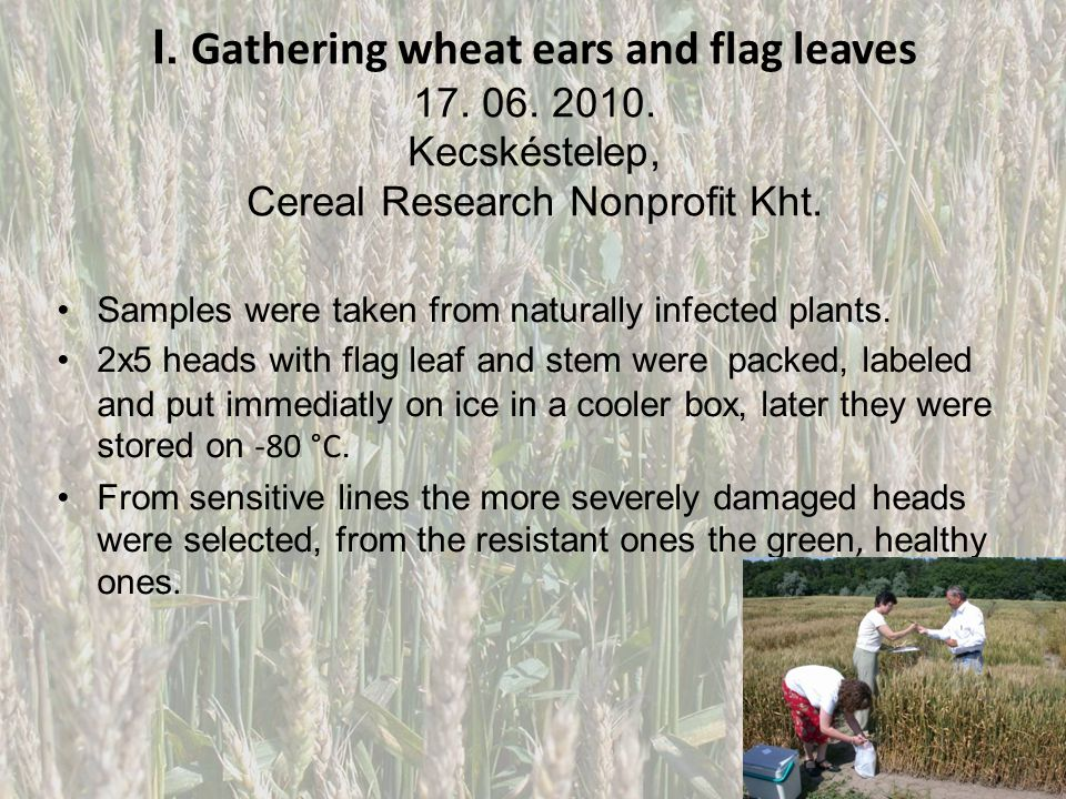 I. Gathering wheat ears and flag leaves 17. 06. 2010.