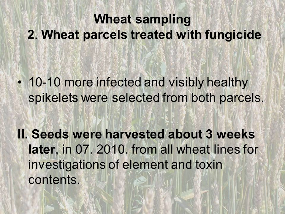 Wheat sampling 2. Wheat parcels treated with fungicide 10-10 more infected and visibly healthy spikelets were selected from both parcels. II. Seeds we