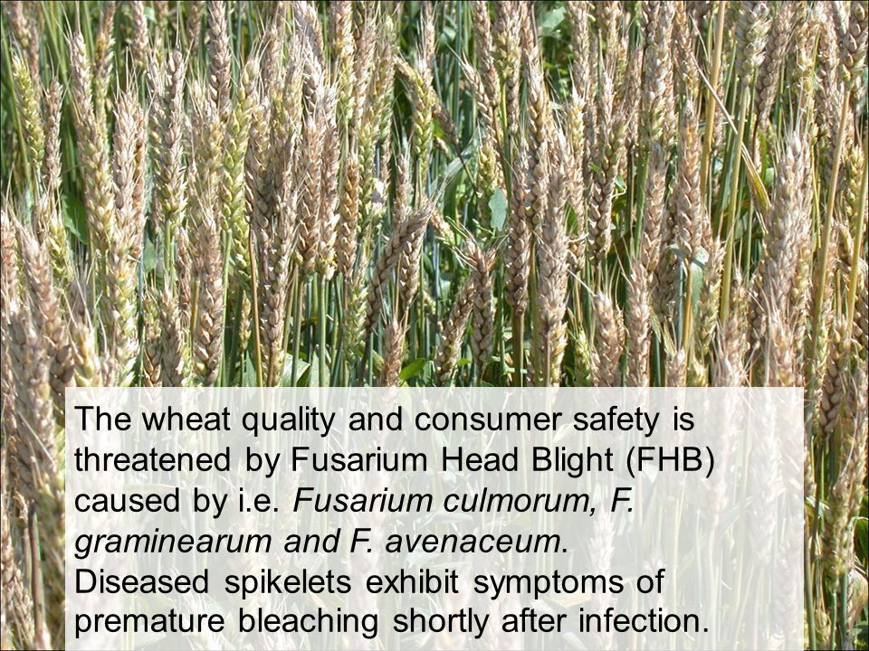 The wheat quality and consumer safety is threatened by Fusarium Head Blight (FHB) caused by i.e. Fusarium culmorum, F. graminearum and F. avenaceum. D