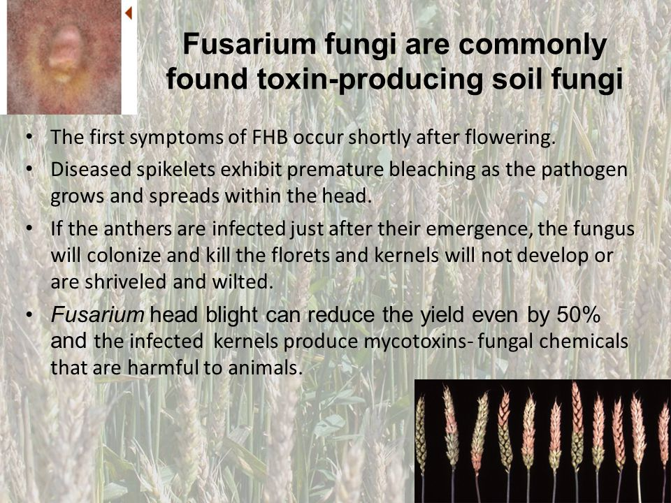 Fusarium fungi are commonly found toxin-producing soil fungi The first symptoms of FHB occur shortly after flowering. Diseased spikelets exhibit prema