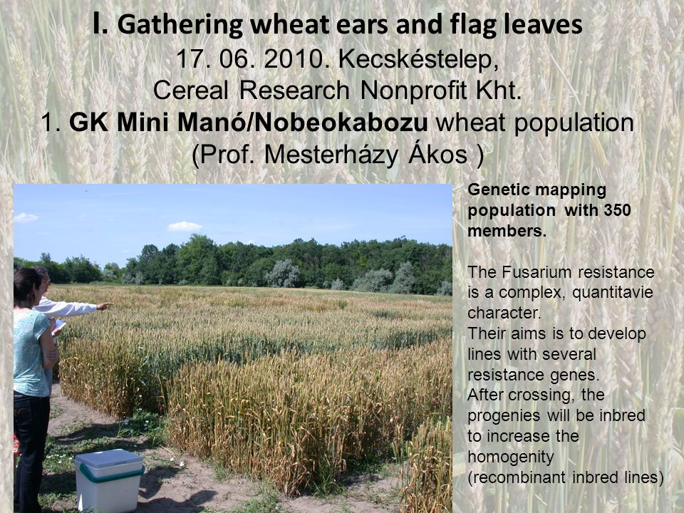 I. Gathering wheat ears and flag leaves 17. 06. 2010. Kecskéstelep, Cereal Research Nonprofit Kht. 1. GK Mini Manó/Nobeokabozu wheat population (Prof.
