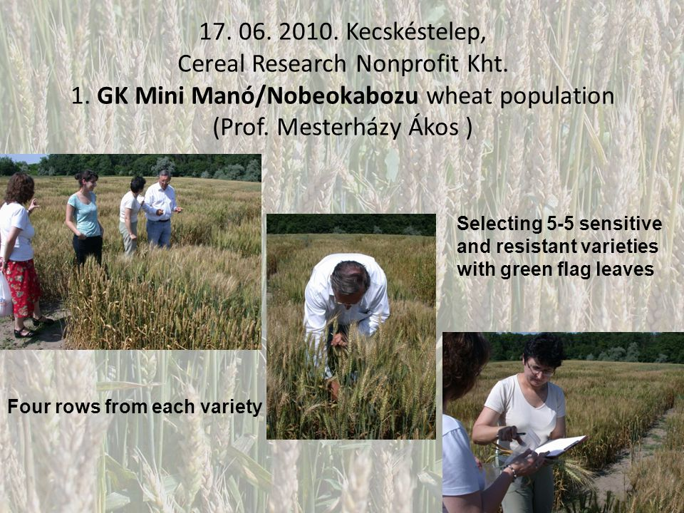 17. 06. 2010. Kecskéstelep, Cereal Research Nonprofit Kht. 1. GK Mini Manó/Nobeokabozu wheat population (Prof. Mesterházy Ákos ) Four rows from each v