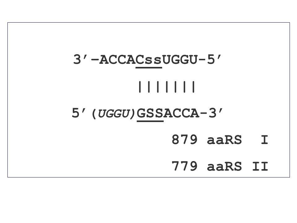 3'–ACCACssUGGU-5' ||||||| 5' (UGGU) GSSACCA-3' 879 aaRS I 779 aaRS II