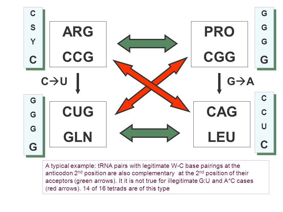 ARG CCG PRO CGG CUG GLN CAG LEU CUCUGAGA A typical example: tRNA pairs with legitimate W-C base pairings at the anticodon 2 nd position are also c