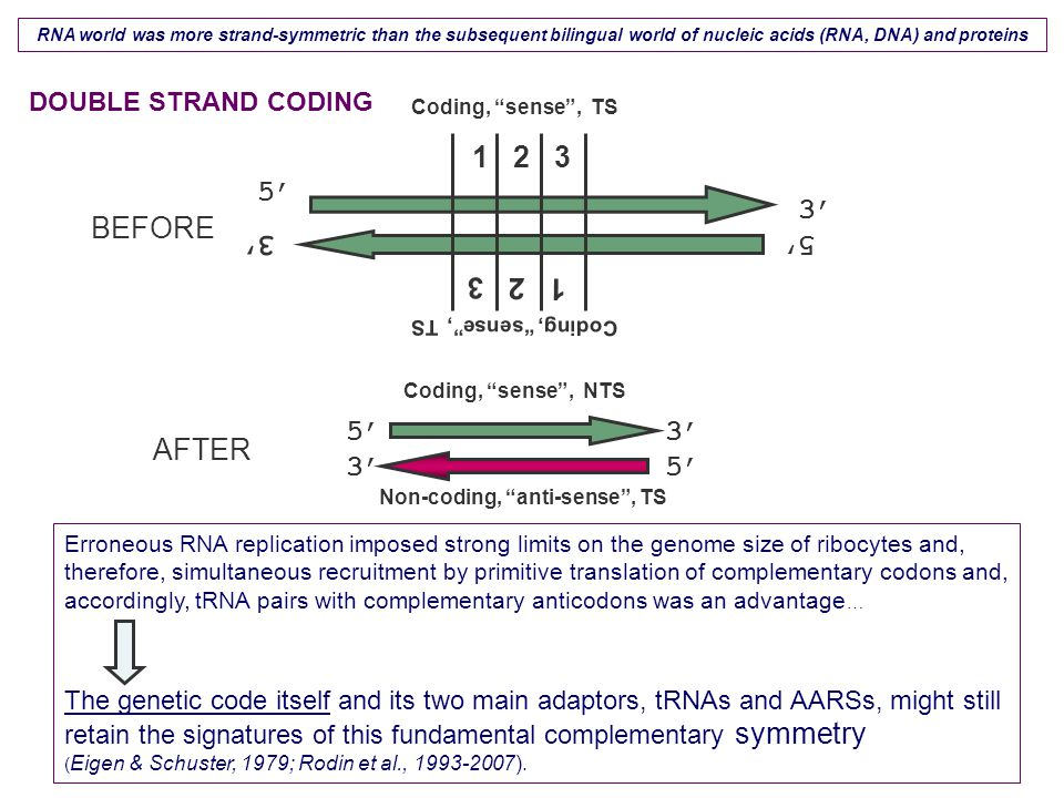 Erroneous RNA replication imposed strong limits on the genome size of ribocytes and, therefore, simultaneous recruitment by primitive translation of complementary codons and, accordingly, tRNA pairs with complementary anticodons was an advantage … The genetic code itself and its two main adaptors, tRNAs and AARSs, might still retain the signatures of this fundamental complementary symmetry ( Eigen & Schuster, 1979; Rodin et al., 1993-2007).